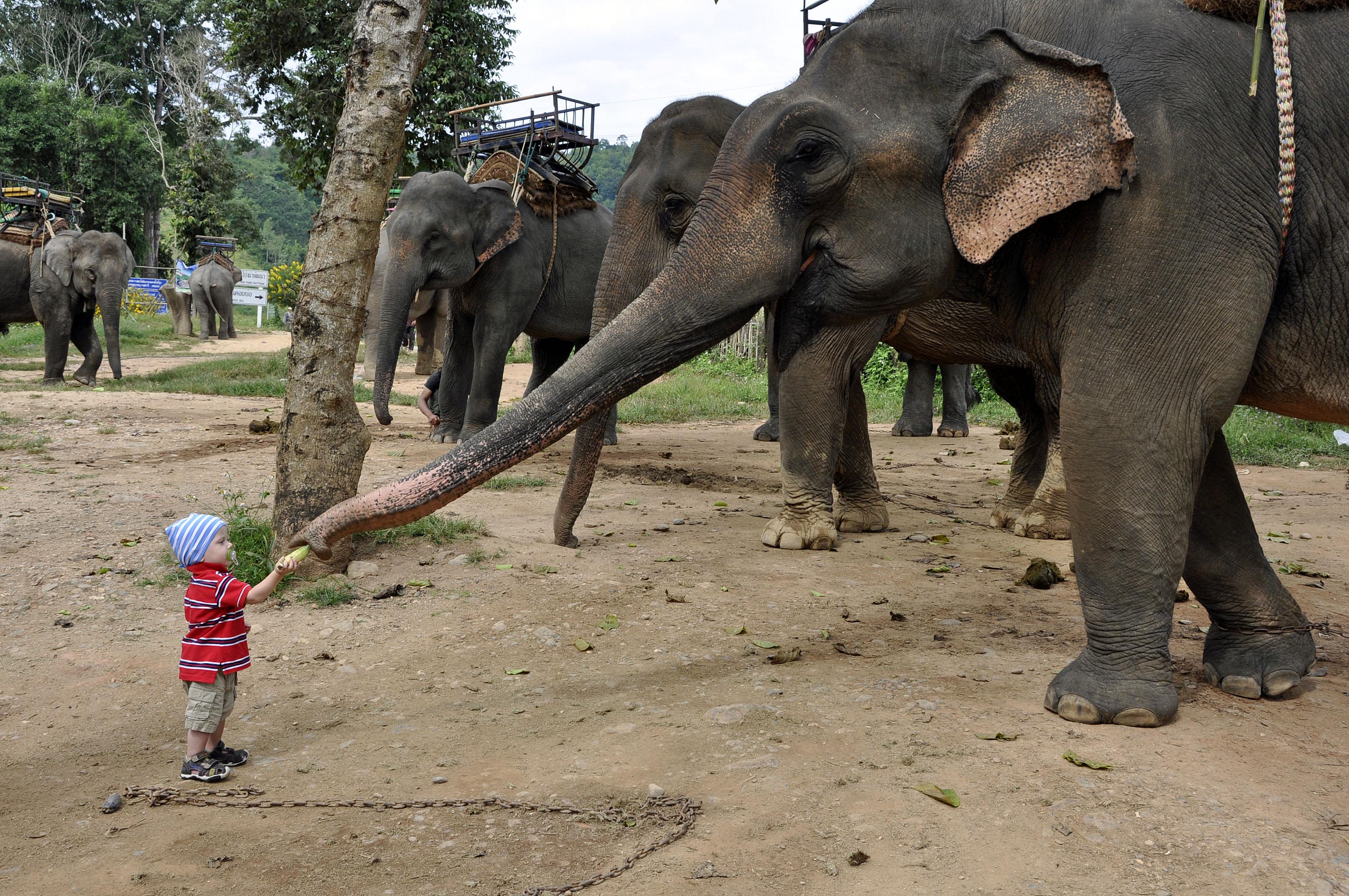 odważnie nakarmił słonika bananem