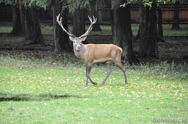 jelenie, rezerwat pokazowy żubrów, Białowieża