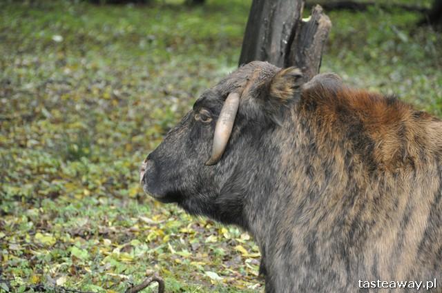 żubroń, rezerwat pokazowy żubrów, Białowieża