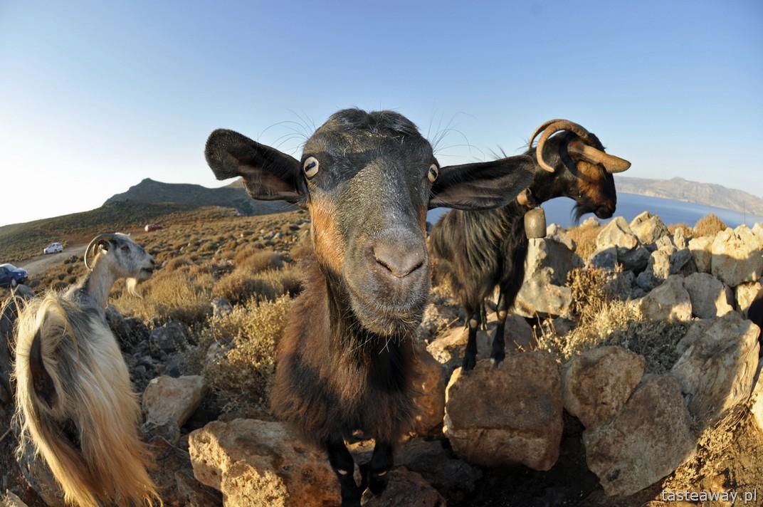 Kreta, kozy, wakacje na Krecie, kozy kri kri