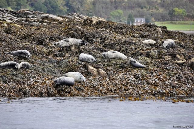 foki, Plockton, Szkocja, północna Szkocja