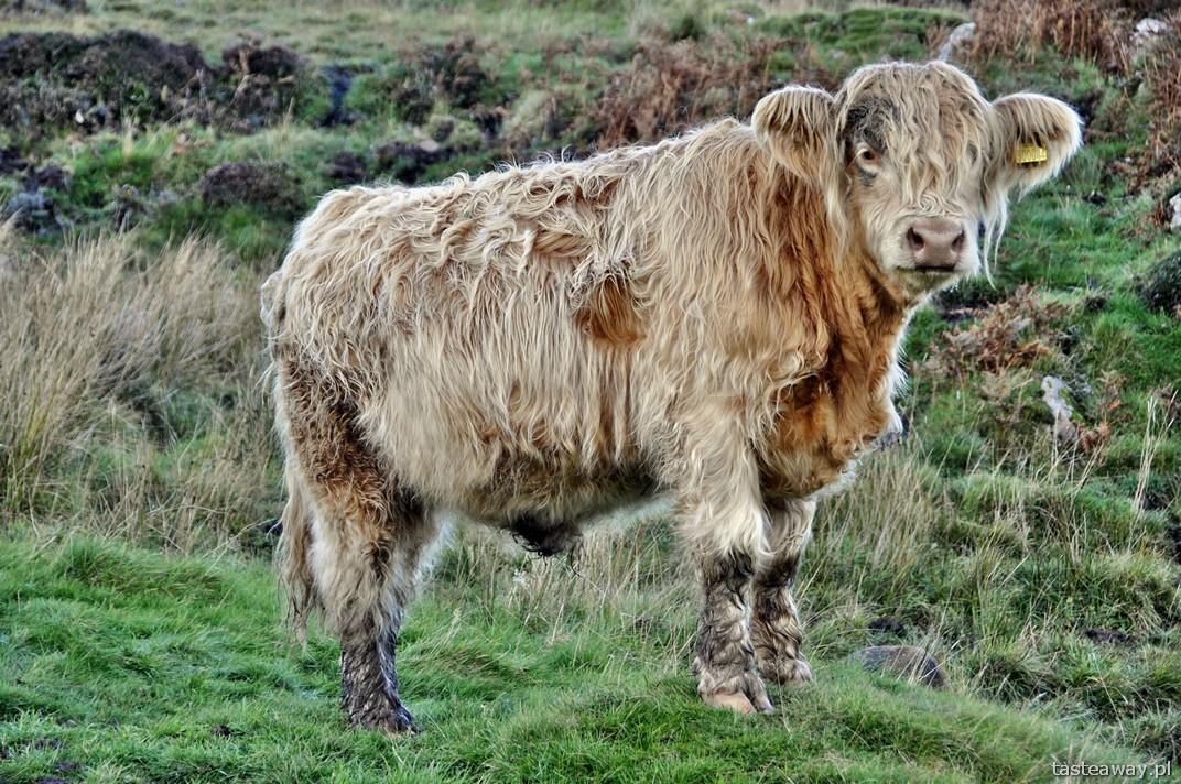 szkockie krowy, Isle of Skye, Szkocja, szkockie wyspy
