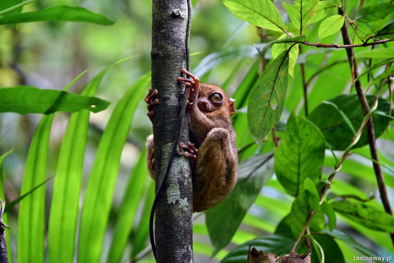 Bohol, Filipiny, co robić na Bohol, co robić na Filipinach, wyraki, tarsiers, Philippine Tarsiers Sanctuary, wyraki na Bohol