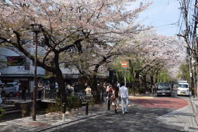 Kioto, Japonia, co zobaczyć w Japonii, co zobaczyć w Kioto, kwitnące wiśnie, Sakura