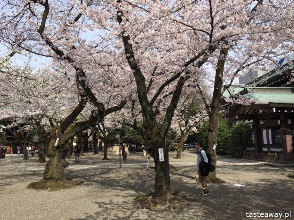 Tokio, co zobaczyć w Japonii, kwitnące wiśnie, Sakura, Kraj kwitnącej Wiśni, Ichigaya, Chiyoda, świątynia Yasukuni, Yasukuni Shrine