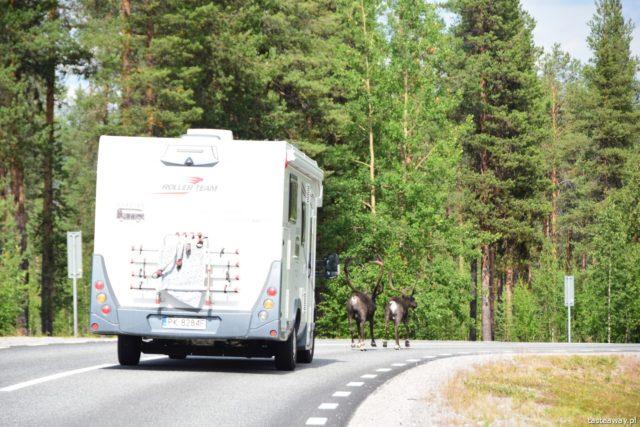 Szwecja, co zobaczyć w Szwecji, urlop w Szwecji, kultura Samów, Samowie, Jokkmokk, renifery
