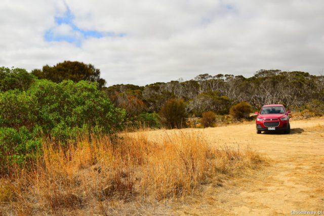 Australia, co zobaczyć w Australii, Kangaroo Island, kangury, co zobaczyć w okolicach Adelajdy, jak zwiedzać Kangaroo Island, jak dotrzeć na Kangaroo Island