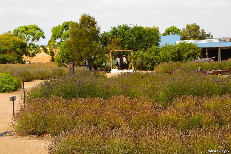 Australia, co zobaczyć w Australii, co zobaczyć w okolicach Adelajdy, Kangaroo Island, co zobaczyć na Kangaroo Island, Emu Bay Lavender Farm