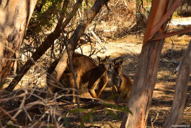 Australia, co zobaczyć w Australii, co zobaczyć w okolicach Adelajdy, Kangaroo Island, co zobaczyć na Kangaroo Island, Stokes Bay, Kangury
