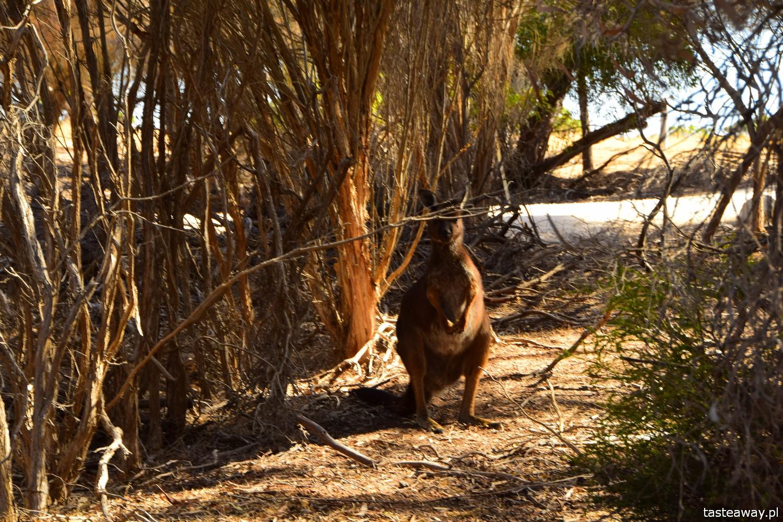 Australia, co zobaczyć w Australii, Kangaroo Island, kangury, co zobaczyć w okolicach Adelajdy