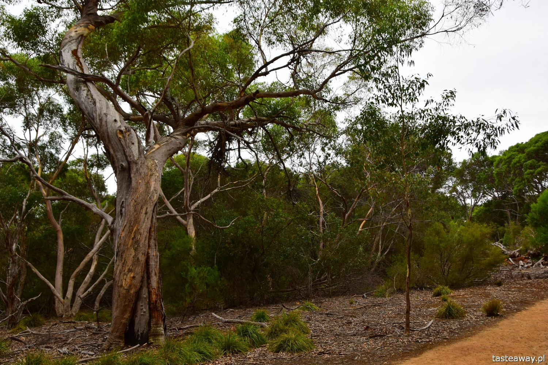 Australia, co zobaczyć w Australii, co zobaczyć w okolicach Adelajdy, Kangaroo Island, co zobaczyć na Kangaroo Island, Stokes Bay, Kangury, FLinders Chase