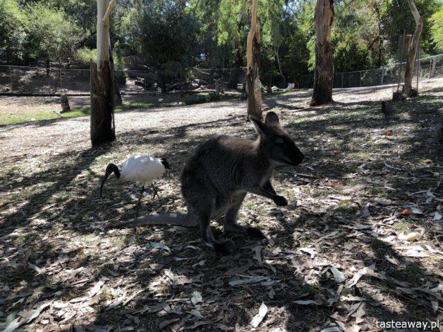 Australia, co zobaczyć w Australii, australijskie wino, Barossa Valley, wina Jacob's Creek, wino, australijski styl życia, pogoda w Australii, pelikany