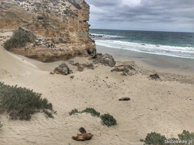 Australia, co zobaczyć w Australii, co zobaczyć w okolicach Adelajdy, Kangaroo Island, co zobaczyć na Kangaroo Island, Stokes Bay, Kangury, FLinders Chase, Seal Bay