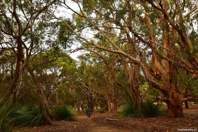 Australia, co warto wiedzieć, planowanie podróży, podróż do Australii, Barossa Valley, wiza, pogoda w Australii, koale, koale w Australii