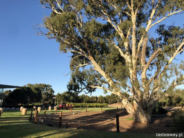 Australia, co warto wiedzieć, planowanie podróży, podróż do Australii, Barossa Valley, wiza, pogoda w Australii, koale, koale w Australii,