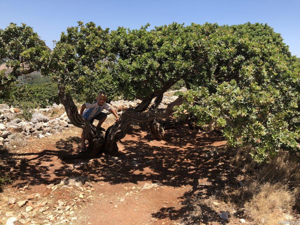 Chios, co zobaczyć na Chios, greckie wyspy, którą grecką wyspę wybrać, Grecja, mastyks, drzewa mastyksowe