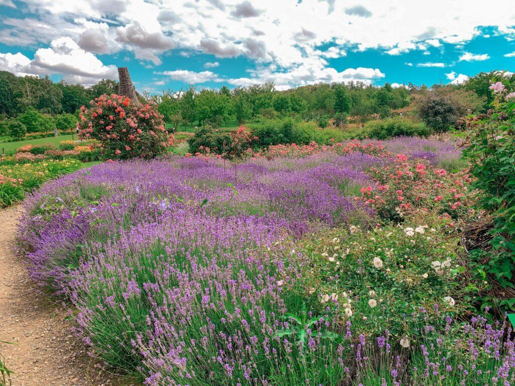 Arboretum_lawenda