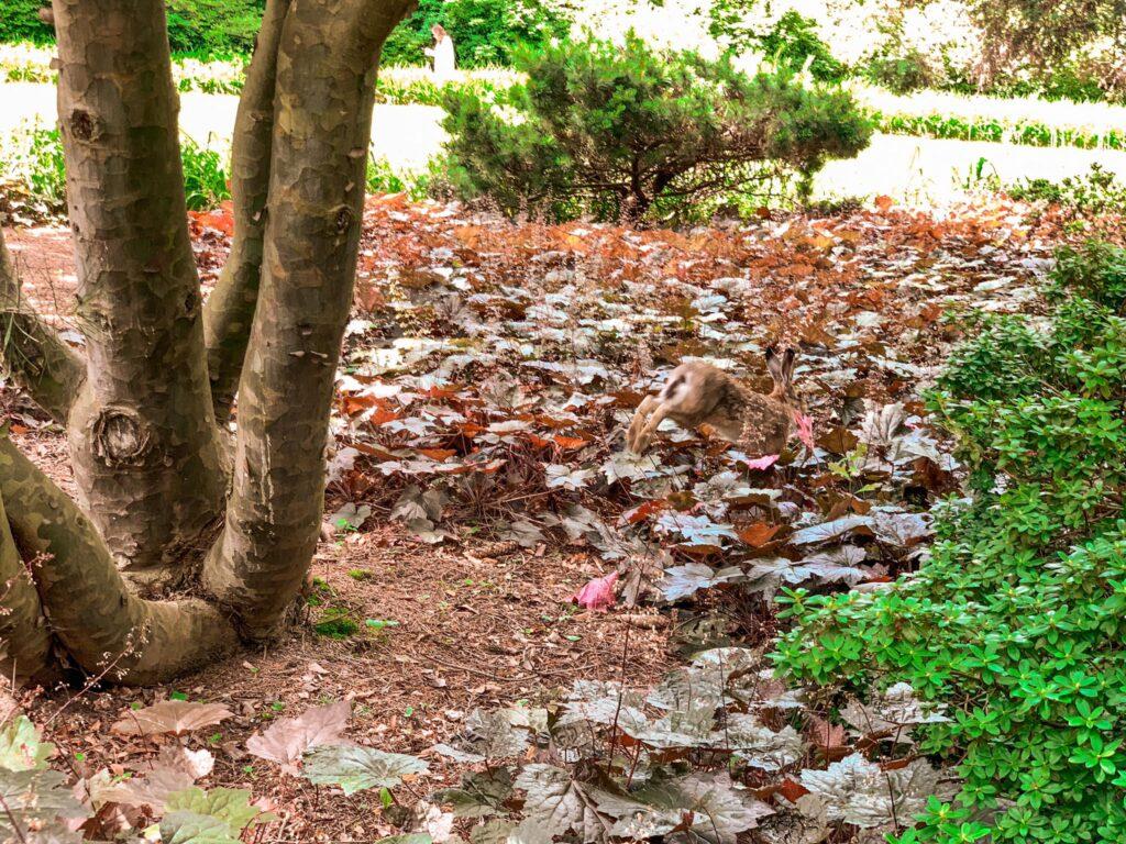 Arboretum_uciekający zając
