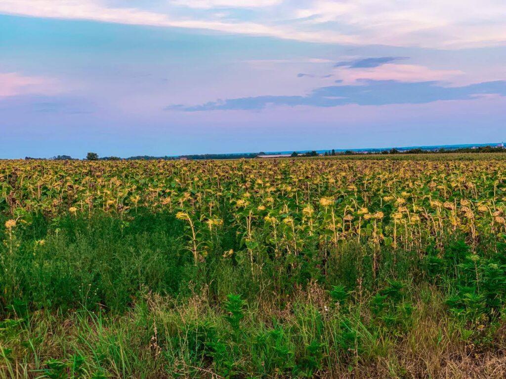 Chorwacja_pola słoneczników
