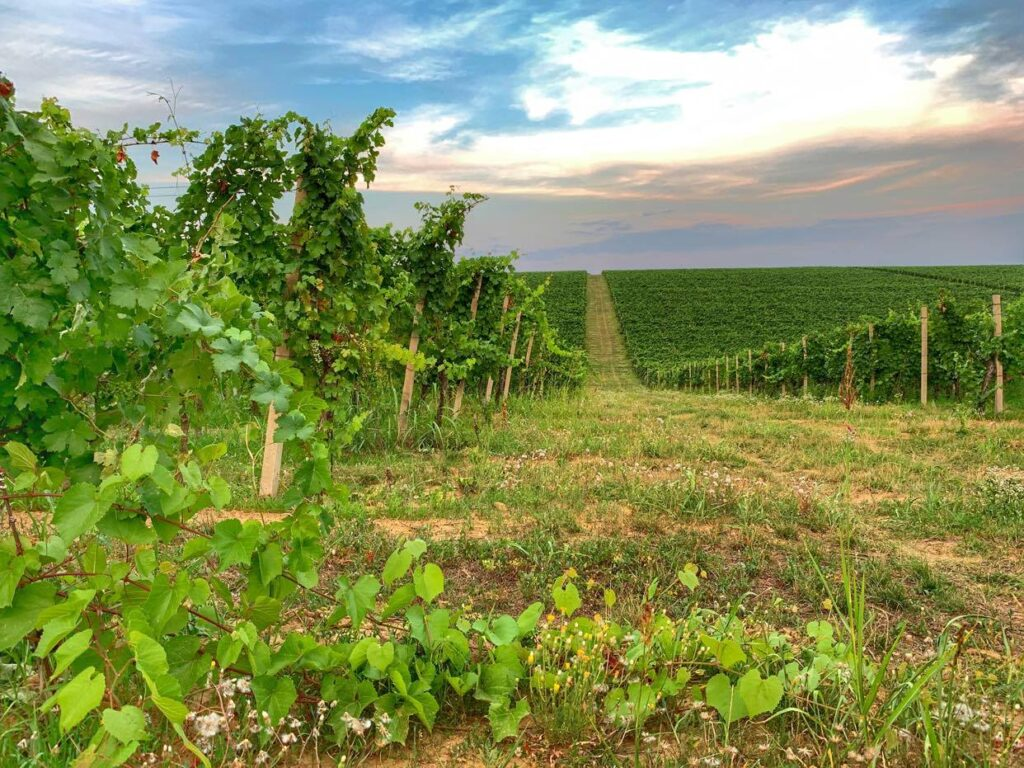 okoliczne winnice_Chorwacja