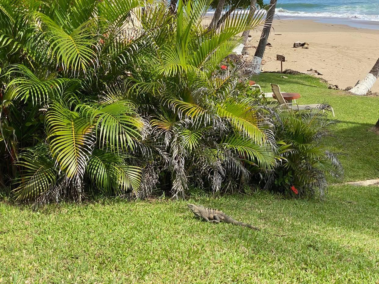 Iguany