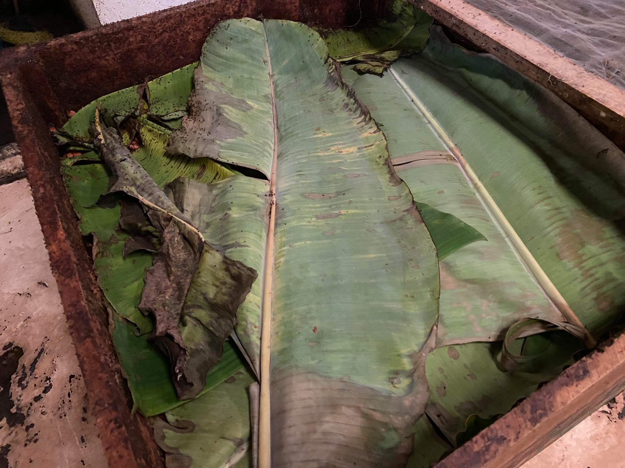 fermentacja pod liśćmi bananowca