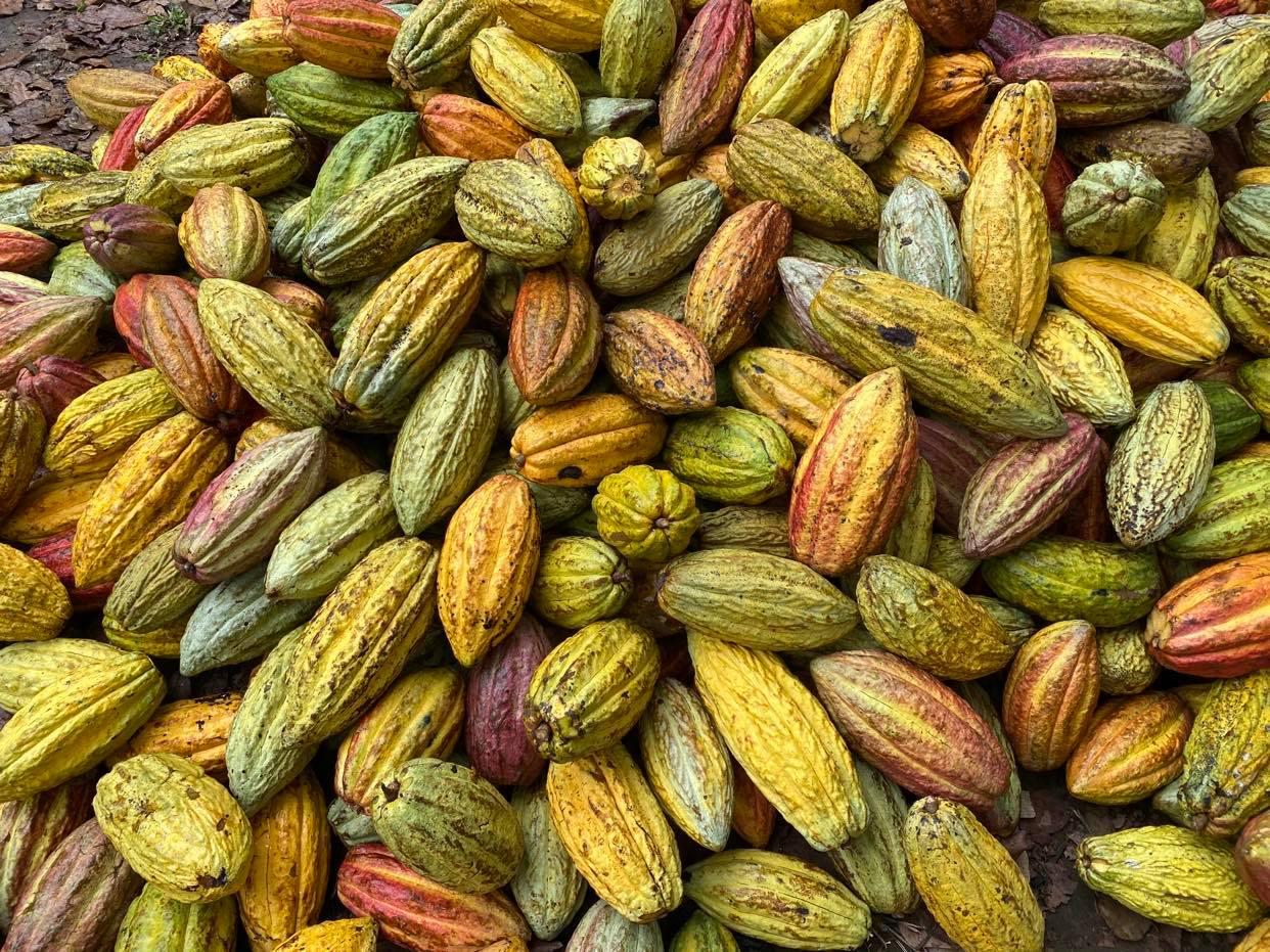 kakaowce