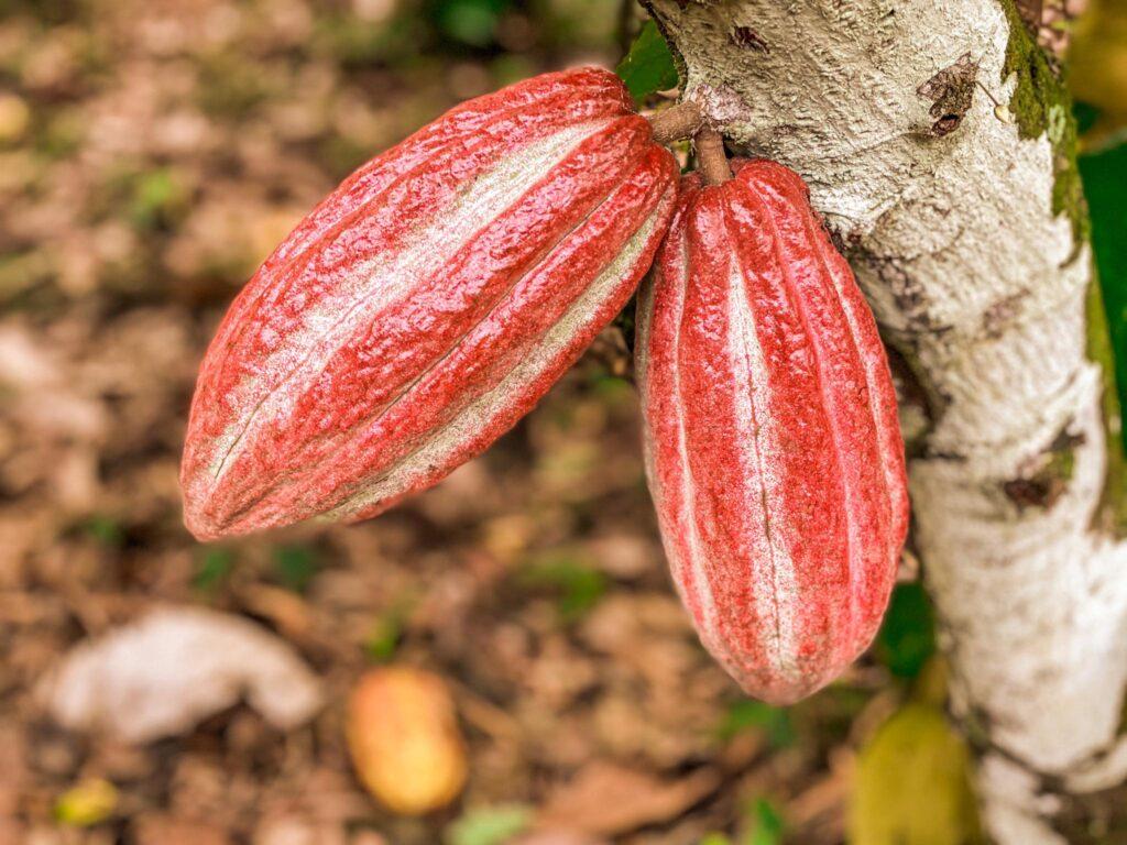owoc kakaowca na drzewie