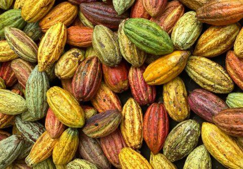 owoce kakaowca_zbiory_Gwatemala