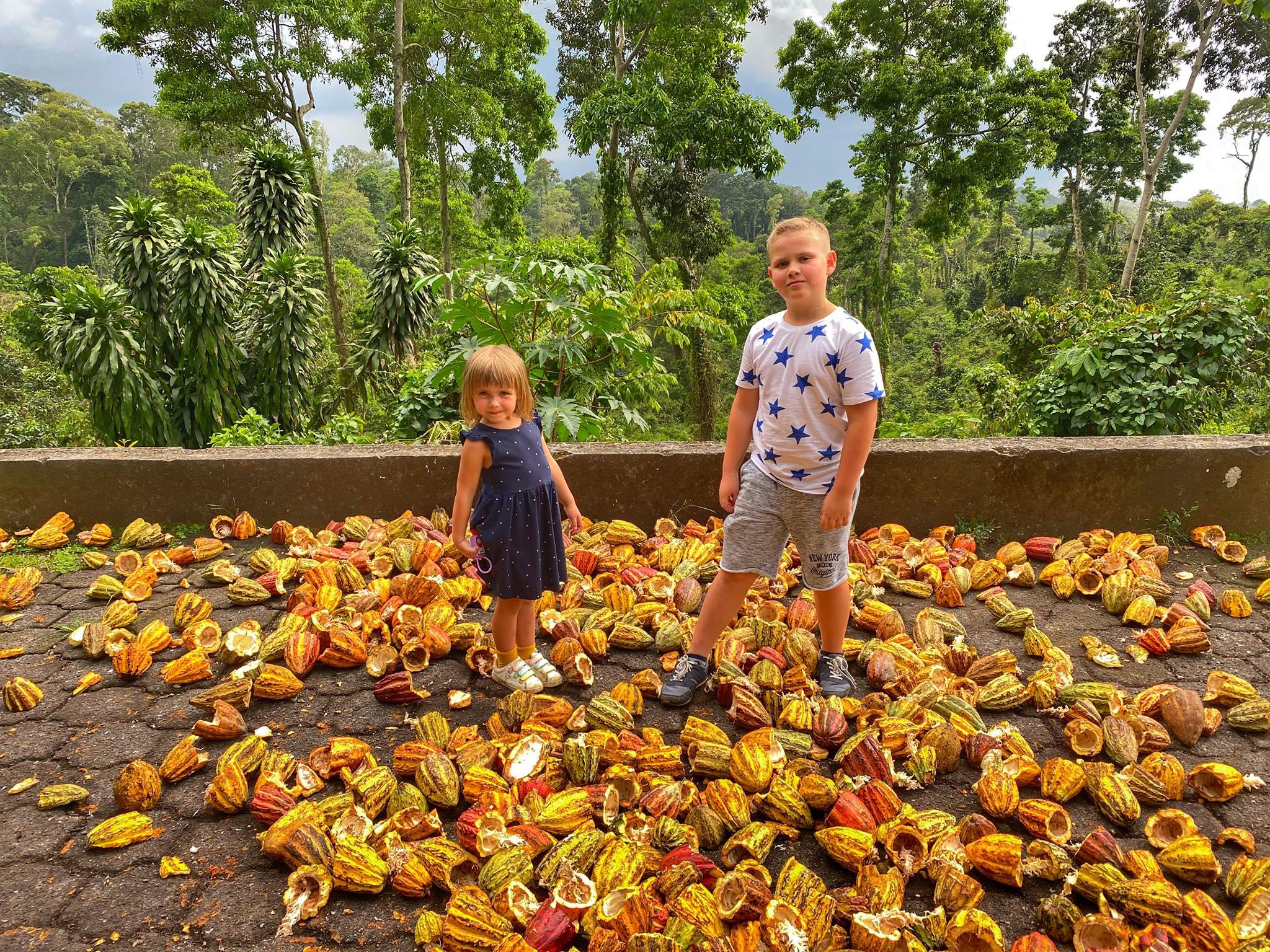 plantacja kakaowca Gwatemala