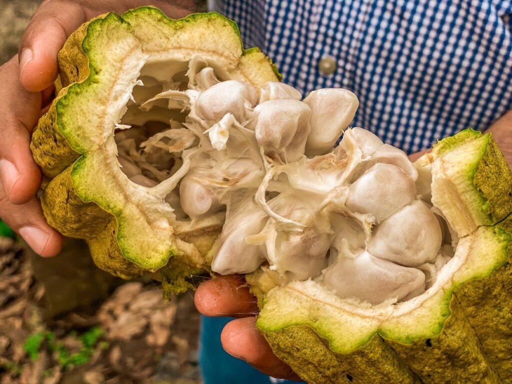 wnetrze kakaowiec